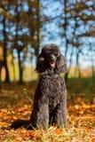 Portrait of a royal poodle Stock Photos