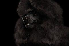 Portrait of Royal Poodle Dog Isolated on Black Background Stock Photo