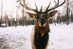 Portrait of Royal red deer buck with antlers Stock Image