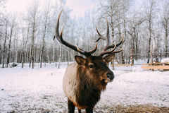 Portrait of Royal red deer buck with antlers Royalty Free Stock Photo