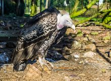 Portrait of a rueppells vulture, a tropical and critically endangered griffon from the sahel region of Africa. A portrait of a rueppells vulture, a tropical and royalty free stock photos