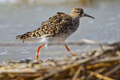 Portrait of a ruff Stock Photo