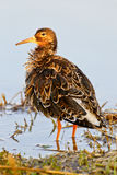 Portrait of a ruff Royalty Free Stock Photography