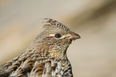 Portrait of a Ruffed Grouse stock photography