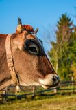 Portrait of rufous cow. In autumnal morning light. lovely everyday episode of rural life stock photo