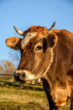 Portrait of rufous cow. In Carpathian rural area in autumn morning light stock photos