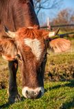 Portrait of rufous cow. In autumnal morning light. lovely everyday episode of rural life stock photos