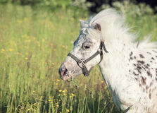 Portrait of running appaloosa pony in field Stock Photography