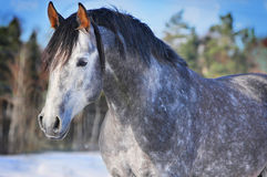 Portrait of running arab horse Stock Image