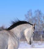 Portrait of running arab horse Stock Images