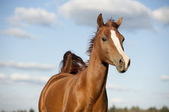 Portrait of running bay arabian horse in summer Royalty Free Stock Image