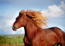 Portrait of running big beautiful horse Stock Images