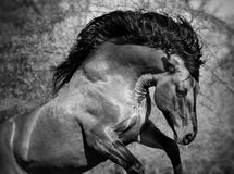 Portrait of running big beautiful horse Royalty Free Stock Images