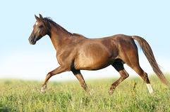 Portrait of running big beautiful horse Royalty Free Stock Photography