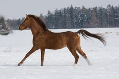 Portrait of running brown horse Stock Photos
