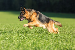 Portrait of running german shepherd. Royalty Free Stock Images