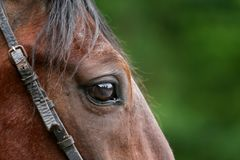 Portrait of a running horse stock photos