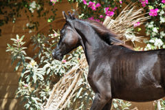 Portrait of running purebred arabian black  filly Stock Photo