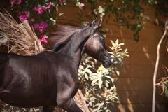 Portrait of running purebred arabian black  filly Stock Photos