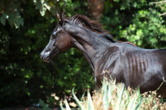 Portrait of running purebred arabian black  filly Royalty Free Stock Photos