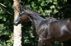 Portrait of running purebred arabian black  filly Royalty Free Stock Images