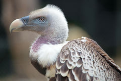 Portrait of a Ruppell's Griffon Vulture Royalty Free Stock Photography