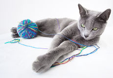 Portrait of a Russian Blue Cat Stock Images