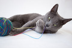 Portrait of a Russian Blue Cat Stock Photos