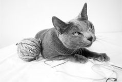 Portrait of a Russian Blue Cat Royalty Free Stock Images