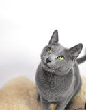 Portrait of a Russian Blue Cat Royalty Free Stock Image