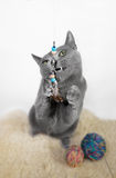 Portrait of a Russian Blue Cat Stock Photography