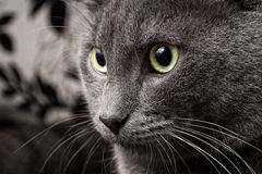 Portrait of russian blue cat Stock Image