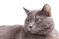 Portrait of russian blue cat Stock Photography