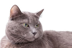 Portrait of russian blue cat Royalty Free Stock Photo