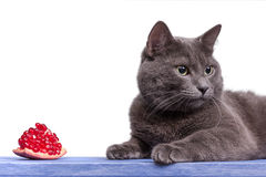 Portrait of russian blue cat on blue wooden board Stock Photos