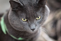 Portrait of russian blue cat outdoor Royalty Free Stock Photos