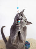 Portrait of a Russian Blue Cat Playing Royalty Free Stock Photography