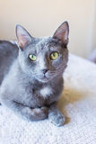 Portrait Russian blue cat. is on the table Royalty Free Stock Image