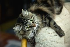 A portrait of the Russian Siberian cats. Cat attacks. Close up. Copy space stock photo