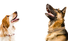 Portrait of a Russian spaniel and a German shepherd looking up Royalty Free Stock Photos
