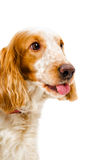 Portrait of a Russian spaniel shows tongue Stock Image