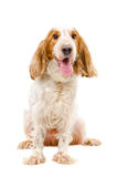 Portrait of  Russian Spaniel Royalty Free Stock Photo