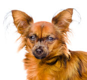 Portrait Russian toy terrier in front. isolated on white backgro Royalty Free Stock Image