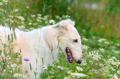 Portrait of Russian wolfhound Stock Photo