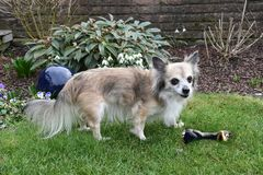 Senior chihuahua guarding his favourite toy. Portrait of s senior chihuahua twelve years old . He guards a plastic bird, his favourite toy royalty free stock image