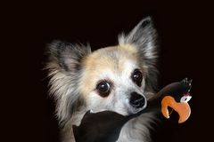 Senior chihuahua with his favourite toy. Portrait of s senior chihuahua twelve years old . He has his favourite toy, a plastic bird in his snout royalty free stock photography