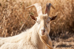 Portrait of a Saanen Billy Goat. Royalty Free Stock Images