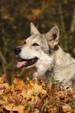 Saarloos Wolfhound portrait Royalty Free Stock Image