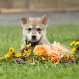 Puppy of Saarloos Wolfhound with flower