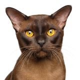 Portrait of Brown Burmese Cat isolated on white background Royalty Free Stock Images